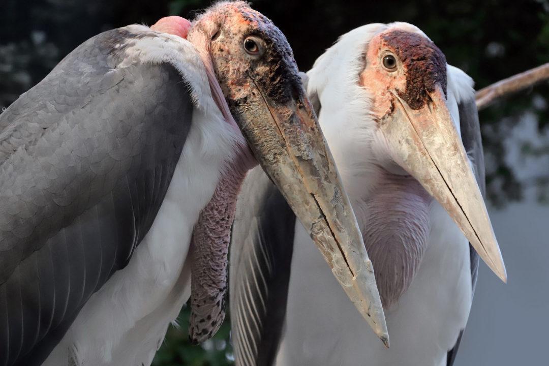 zwei Marabus